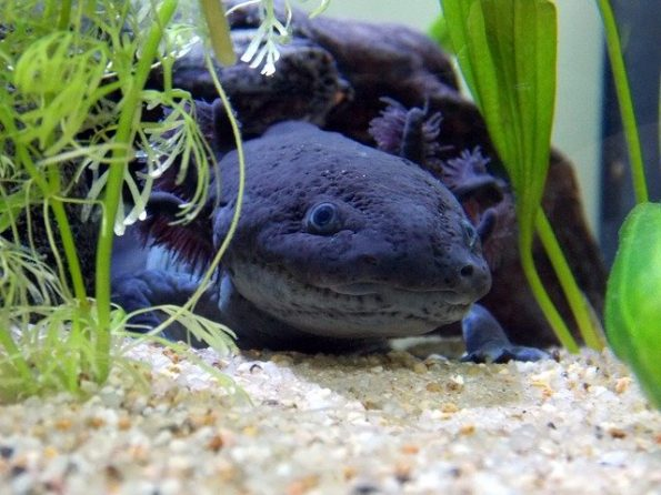 A close-up photograph depicting a melanoid axolotl exploring its environment.